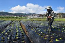 Aside from the famous strawberries, there are also different varieties of crops such as lettuce that are being planted in the strawberry fields of La Trinidad, a portion of which will soon be irrigated by the Swamp Pump Irrigation Project (PIP).